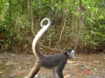 A spider monkey captured on cameratrap in a rare momento on the ground seeking minerals from the clay lick. Photo courtesy of TBS.