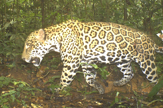 Top predator and America's biggest cat, the jaguar (Panthera onca) caught on camera trap at TBS. Photo courtesy of TBS.