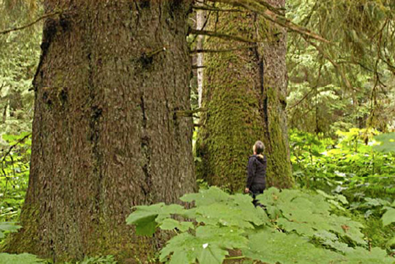 Old-growth tree in Tongass temperate rainforest. Such trees may be as old as 800 years. Photo by: John Schoen.