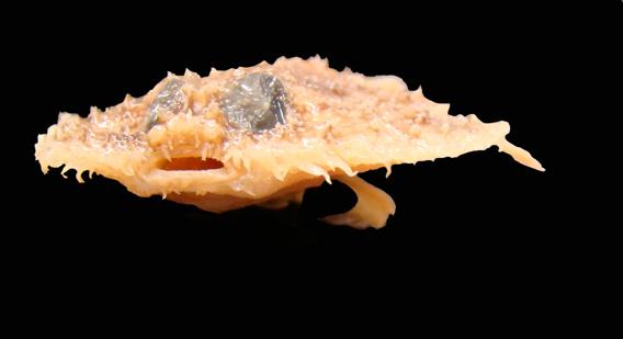 Few species have such memorable names as the Louisiana pancake batfish (Halieutichthys intermedius) discovered in the Gulf of Mexico. This new species of fish may be in trouble, as its habitat range may not extend beyond the area impacted by the BP oil spill last year. But what's with the name? Well, its flat like a pancake and researchers say when it moves on the sea floor it resembles a 'walking bat' with its odd arm-like fins bouncing it across the abyss. The fish proves there is much we still don't know about the Gulf of Mexico, even as it struggles against human impacts such as farming run-off, overfishing, and of course oil drilling. Photo by: Prosanta Chakrabarty (Louisiana State University, USA)..