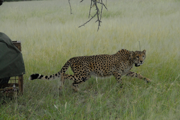 An adult cheetah, which had been smuggled and abused for the illegal pet trade, returns to the wild in Tanzania.  Photo by: Annette Simonson