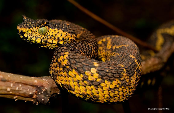 Matilda's horned viper. Photo by: Tim Davenport.