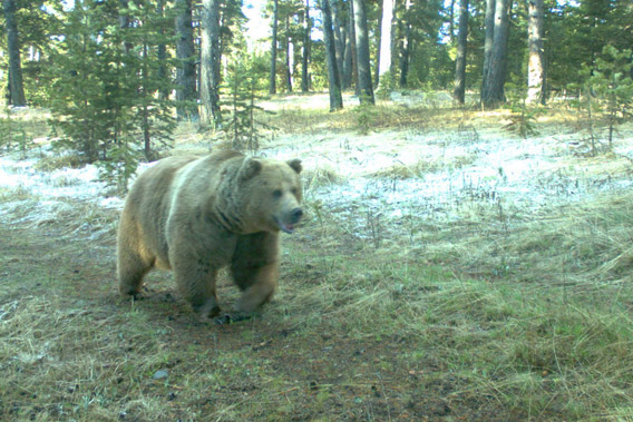 Brown bear (Ursus arctos) caught on camera trap in the Kars region of Turkey.