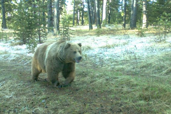 Brown bear (Ursus arctos) caught on camera trap in the Kars region of Turkey.