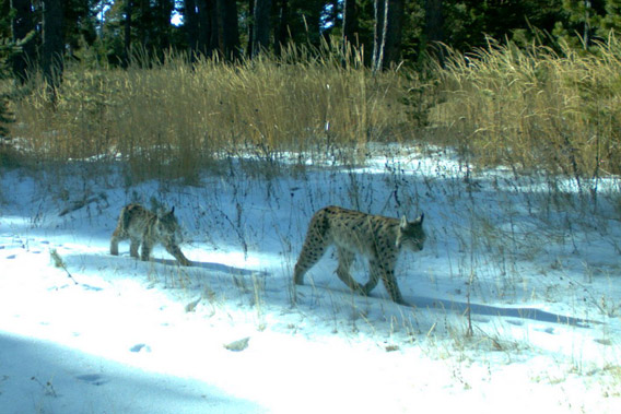 Eurasian lynx (Lynx lynx) caught on camera trap in the Kars region of Turkey. Photo courtesy of: Cagan Sekercioglu.