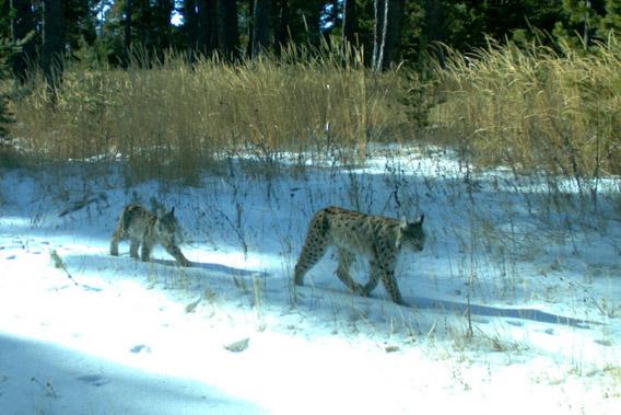 Eurasian lynx (Lynx lynx) caught on camera trap in the Kars region of Turkey. Photo courtesy of: Cagan Sekercioglu.