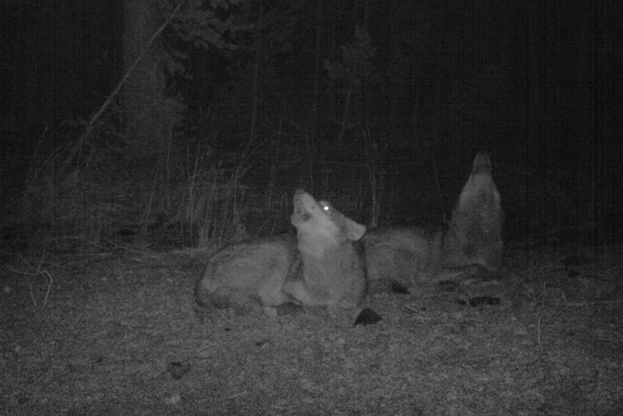 Wolves (Canis lupus) howling on camera trap in the Kars region of Turkey. Photo courtesy of: Cagan Sekercioglu.