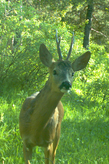 Roe deer caught on camera trap in Kars region. Photo courtesy of: Cagan Sekercioglu.