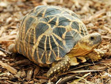 The Burmese star tortoise (Geochelone platynota) is characterized by well defined, symmetrical star patterns that radiate across the reptile's carapace or shell. Very little is known about the species, which is threatened by both the pet trade and a demand for meat. The Burmese star tortoise is listed as Critically Endangered. Photo Credit: Brian D. Horne/Wildlife Conservation Society..