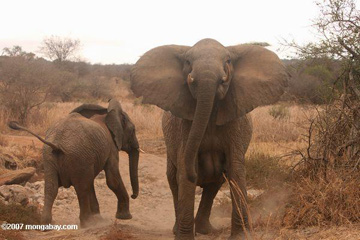African savanna elephants in the Serengeti. Photo by: Rhett A. Butler.