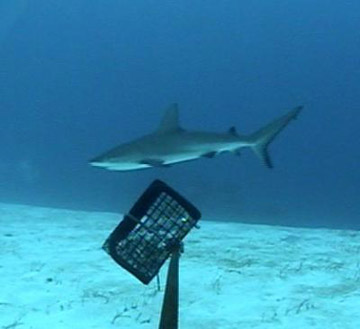 "Filmed at Glover's Reef Marine Reserve, this footage shows a sub-adult Caribbean reef shark (Carcharhinus perezi) swimming near the bait cage of one of the baited remote underwater video cameras, nicknamed ""chum cams,"" used in the study.. Photo by: Institute for Ocean Conservation Science at Stony Brook University."