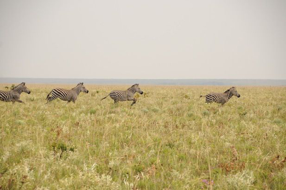 The only herd of zebra in the DRC is found in Upemba National Park. After decades of poaching the herd is only about 20 strong. Photo by: Frankfurt Zoological Society (FZS).