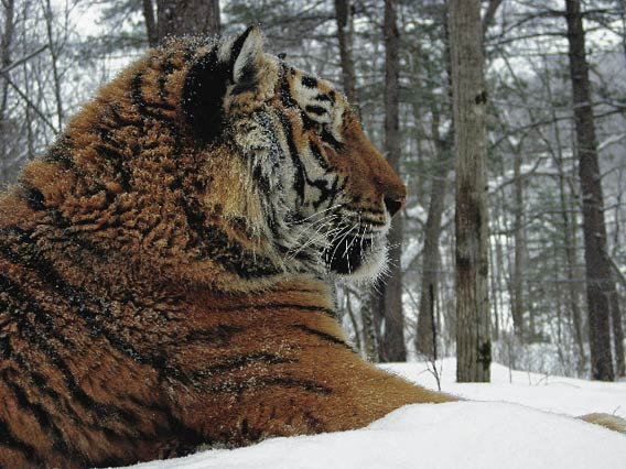Siberian tiger. John Goodrich (WCS).