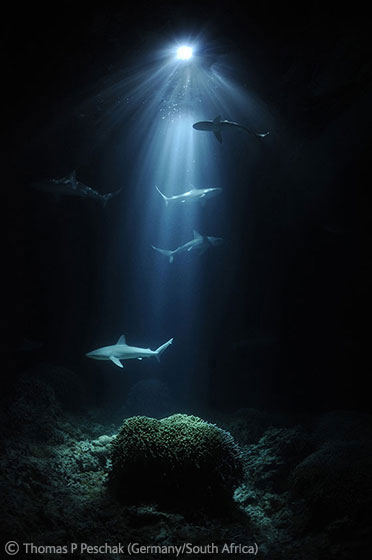 2011 The Underwater World - Highly Commended: Night sharks. Photo by: Peter Peschak.