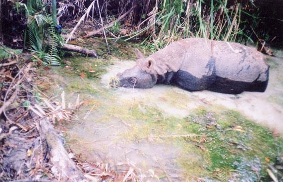 Rinoceronte vietnamita. Foto per gentile concessione del WWF.