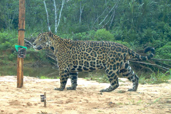 Jaguar in Bolivia's Madidi National Park. Photo courtesy of WCS.