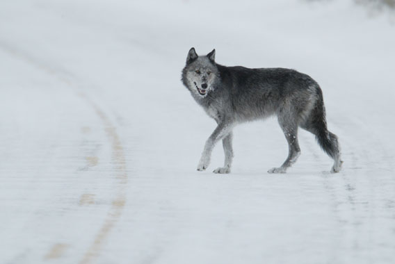 A wolf in Yellowstone National Park.  Photo courtesy of Yellowstone National Park.