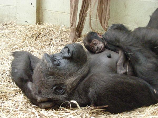 Gorilla born at the London Zoo